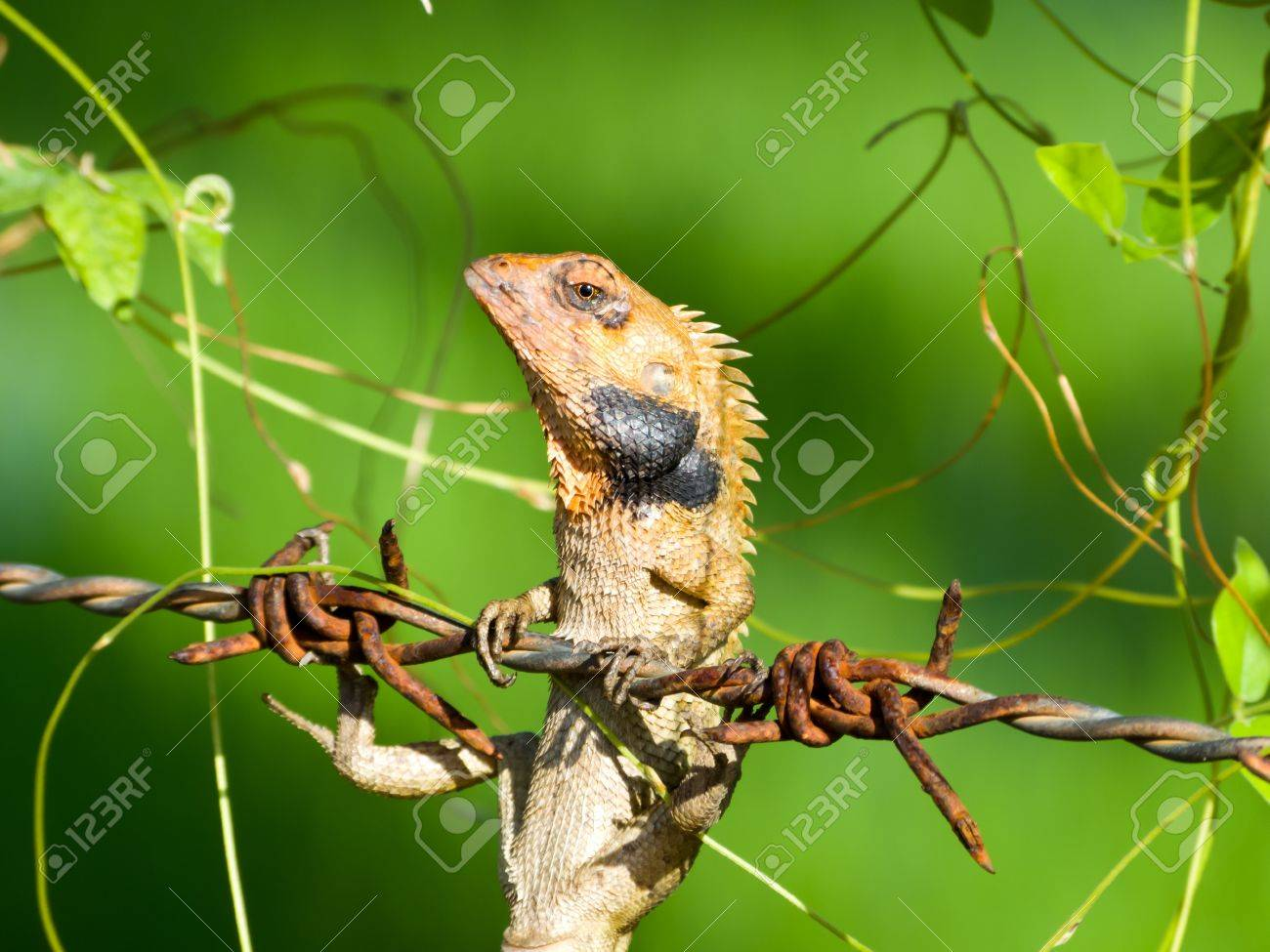Chameleon hang by barbed wire over green background Stock Photo - 14558026