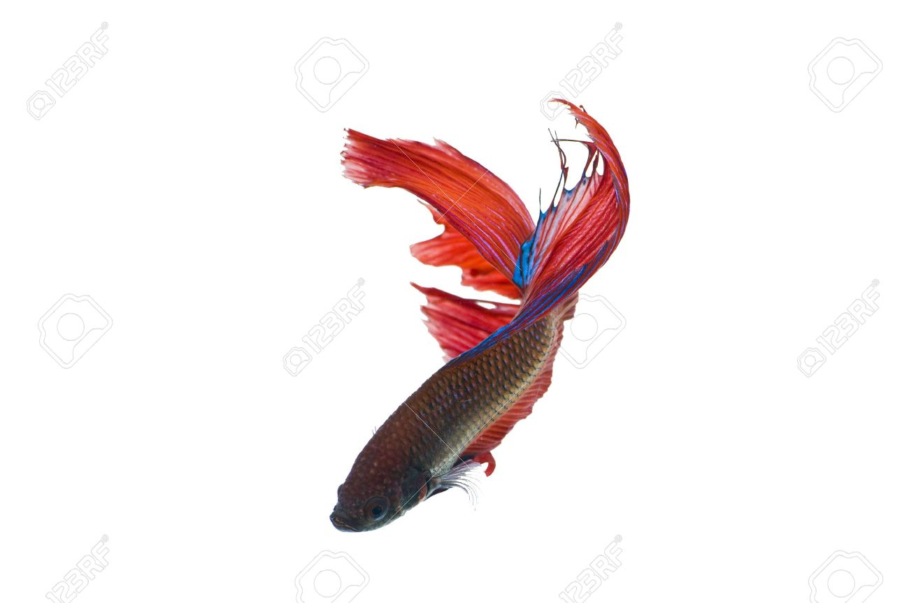 The Betta fish on the white background Stock Photo - 7340561