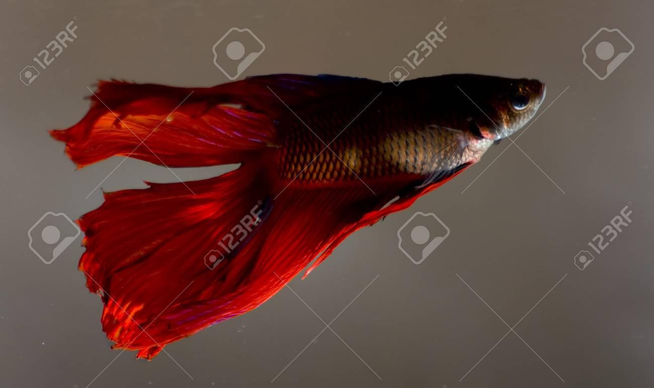 Betta fish Stock Photo - 7378462