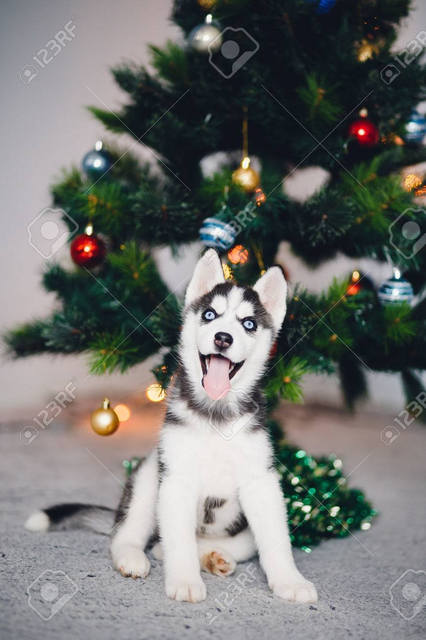 puppy siberian husky with blue eyes on the background of a christmas tree a mans