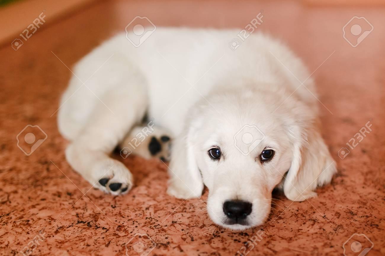 Junger Welpe Eines Golden Retrievers Labrador Retriever Führt Einen