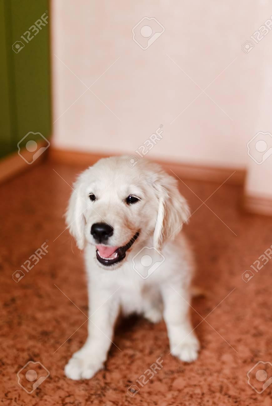 Junge Welpen Eines Golden Retriever Labrador Retriever Führt Einen