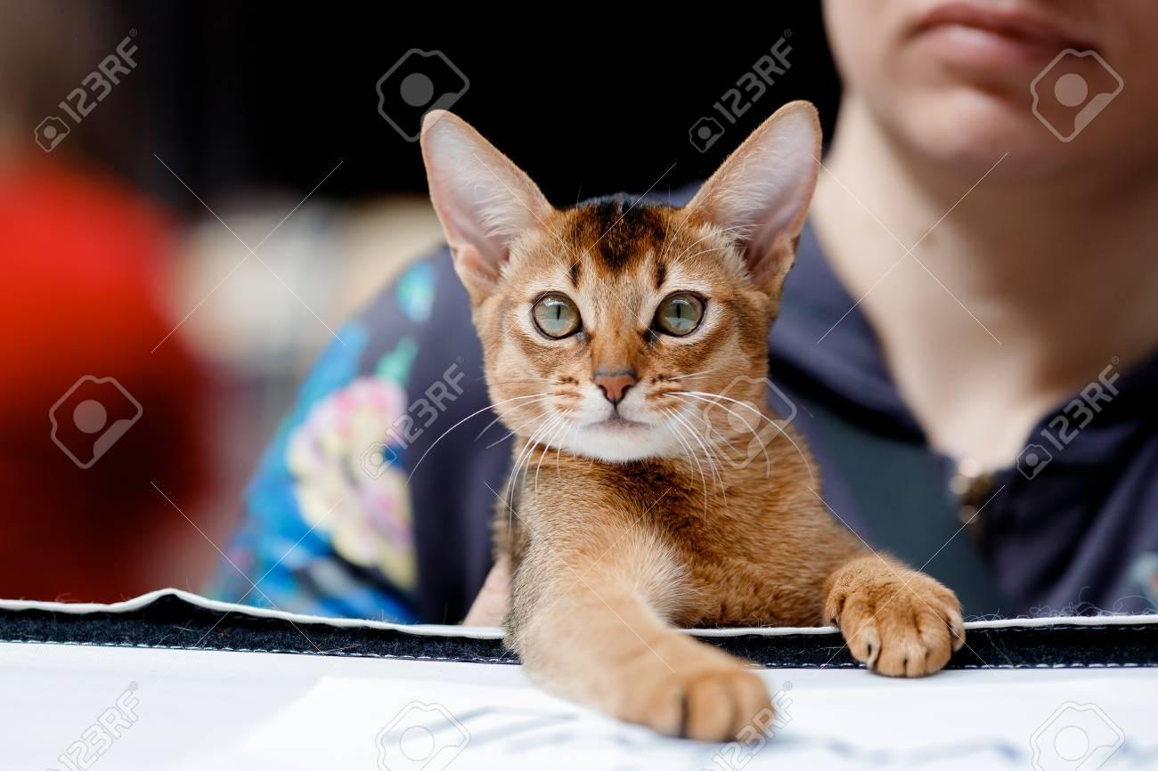 Abyssinian Cat Ears