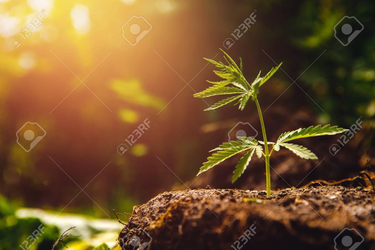 Bush marijuana cannabis on blurred background at sunset. - 103383753