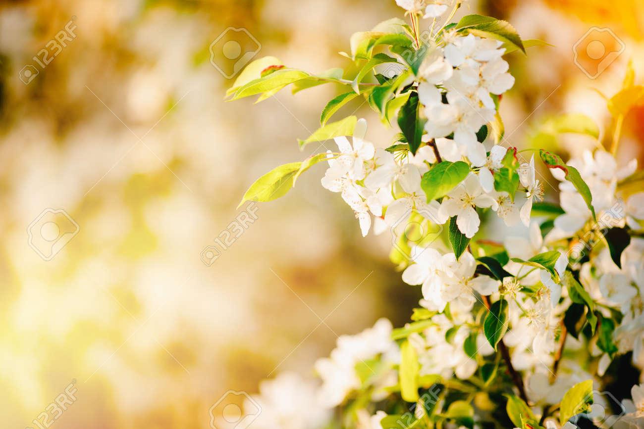 Apple tree flowers close up, spring sunlight - 166138257