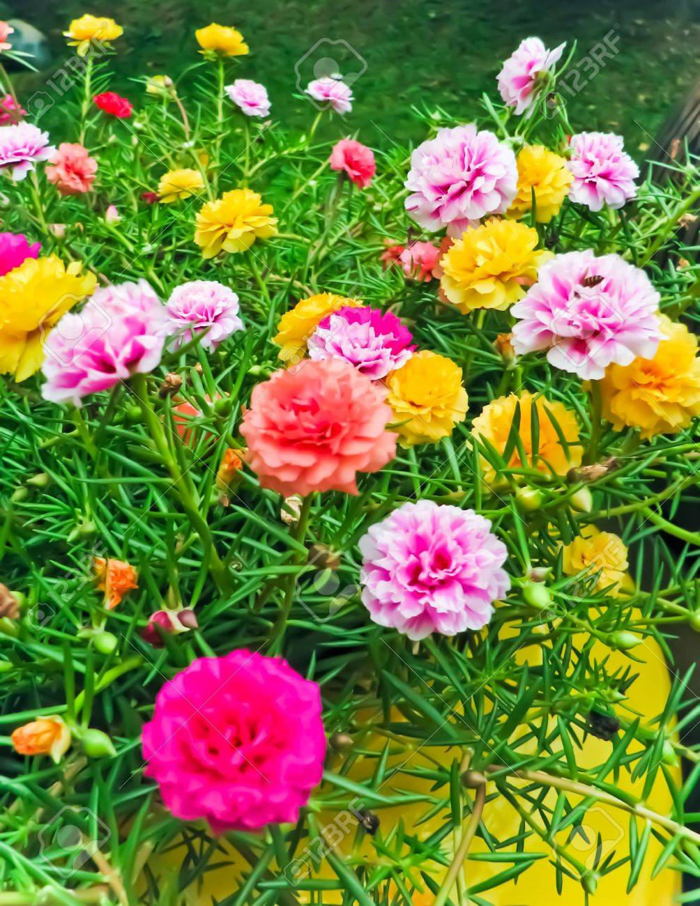Portulaca Rose blooming in the garden Stock Photo - 10301740