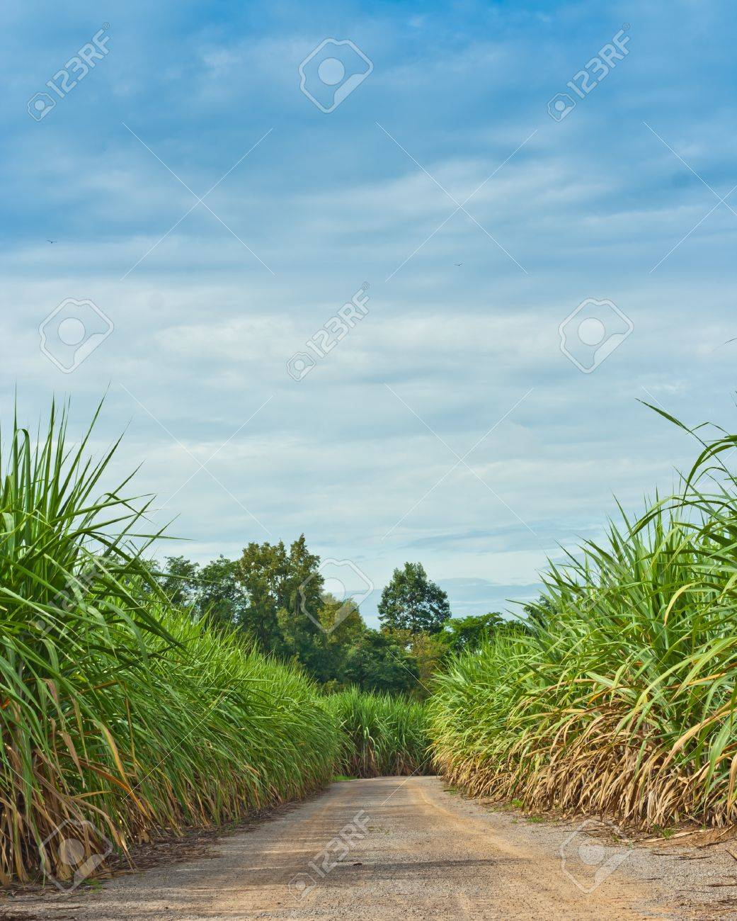 road in sugarcane field Stock Photo - 10425145