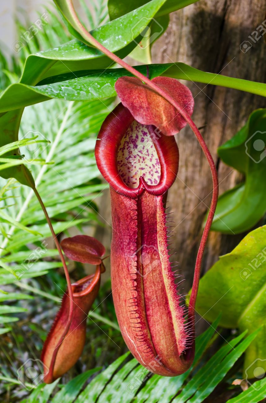 Pitcher plant growing in tropical forest Stock Photo - 12208696