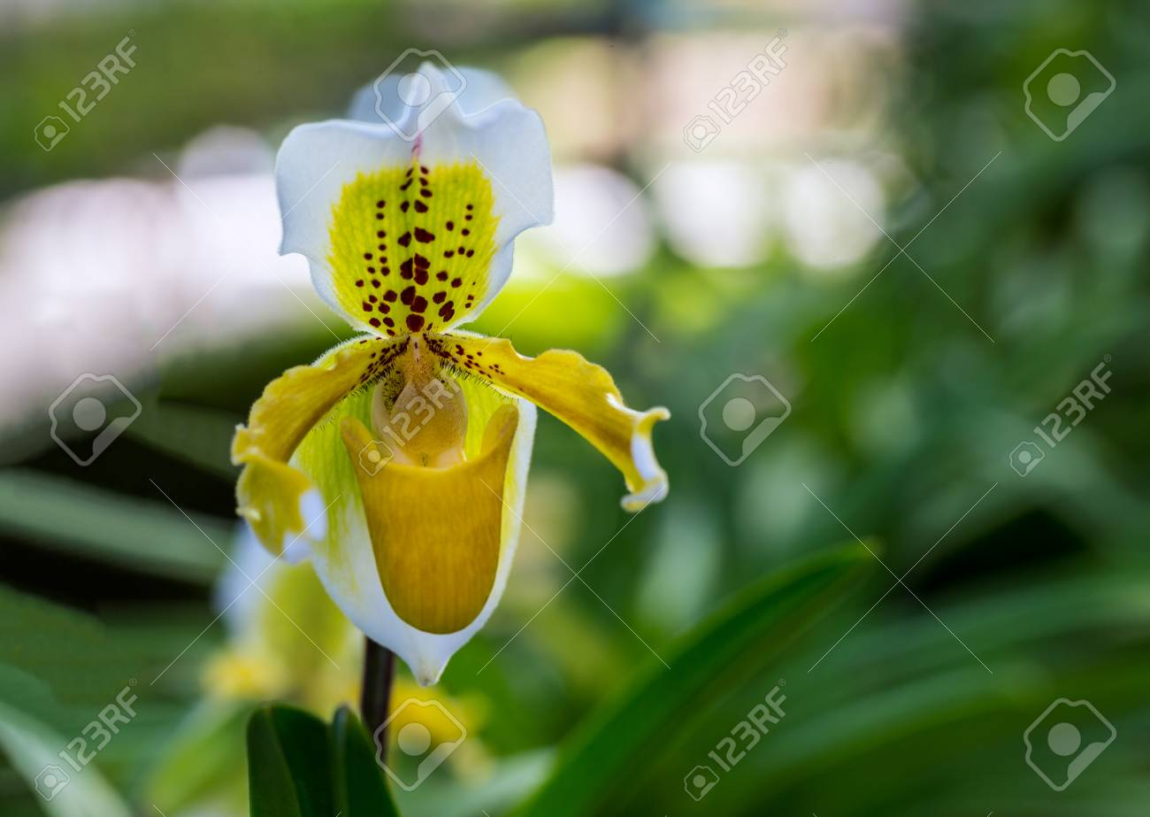 Close Up Of A Yellow Lady Slipper Orchid Blossom In Flower Garden
