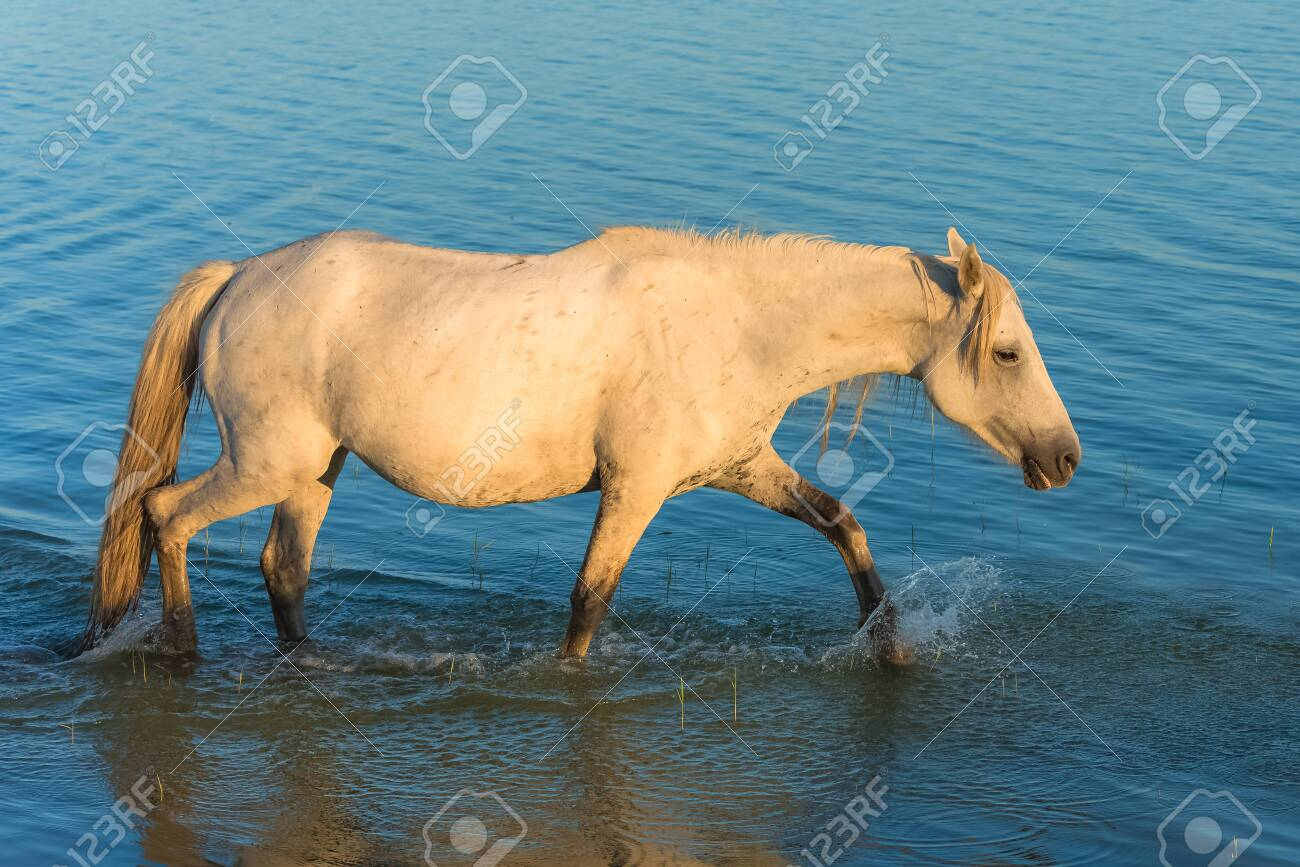 Horses Running In The Water Beautiful Wild Horses In Camargue Stock Photo Picture And Royalty Free Image Image 156147255