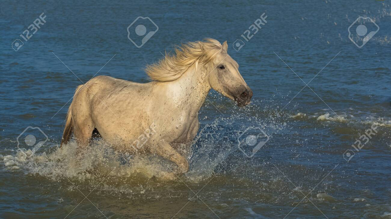 Horses Running In The Water Beautiful Wild Horses In Camargue Stock Photo Picture And Royalty Free Image Image 156164598