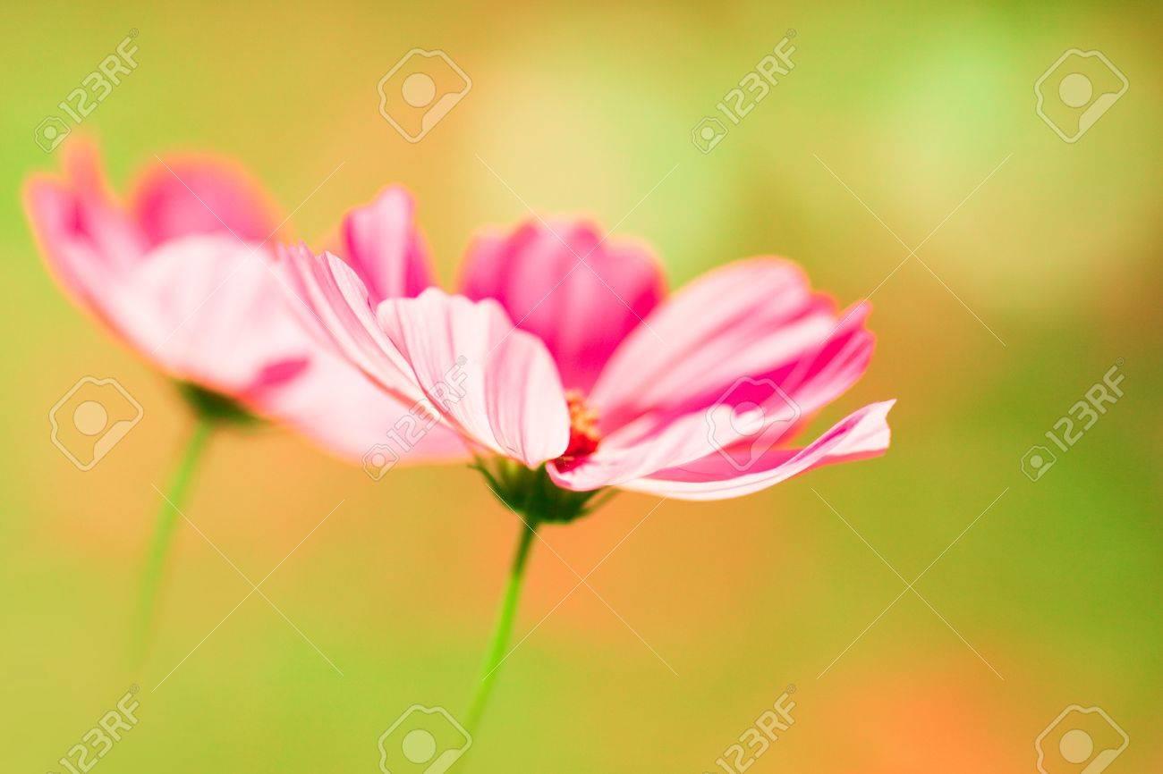 Pink cosmos flower on warm light creamy bokeh background Stock Photo - 15030933