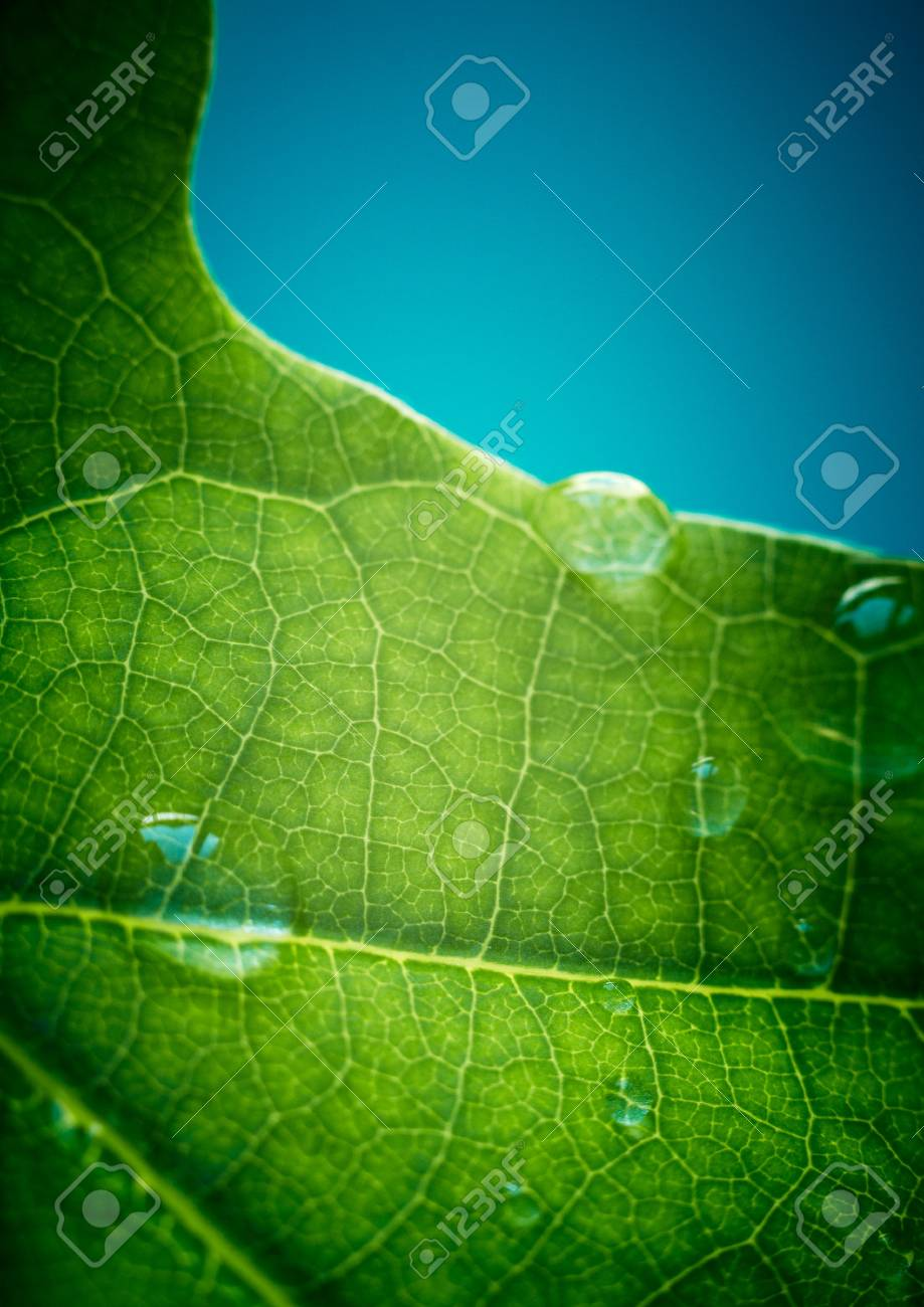 Green oak leaf with water drops on it (shallow depth of field) Stock Photo - 7389640