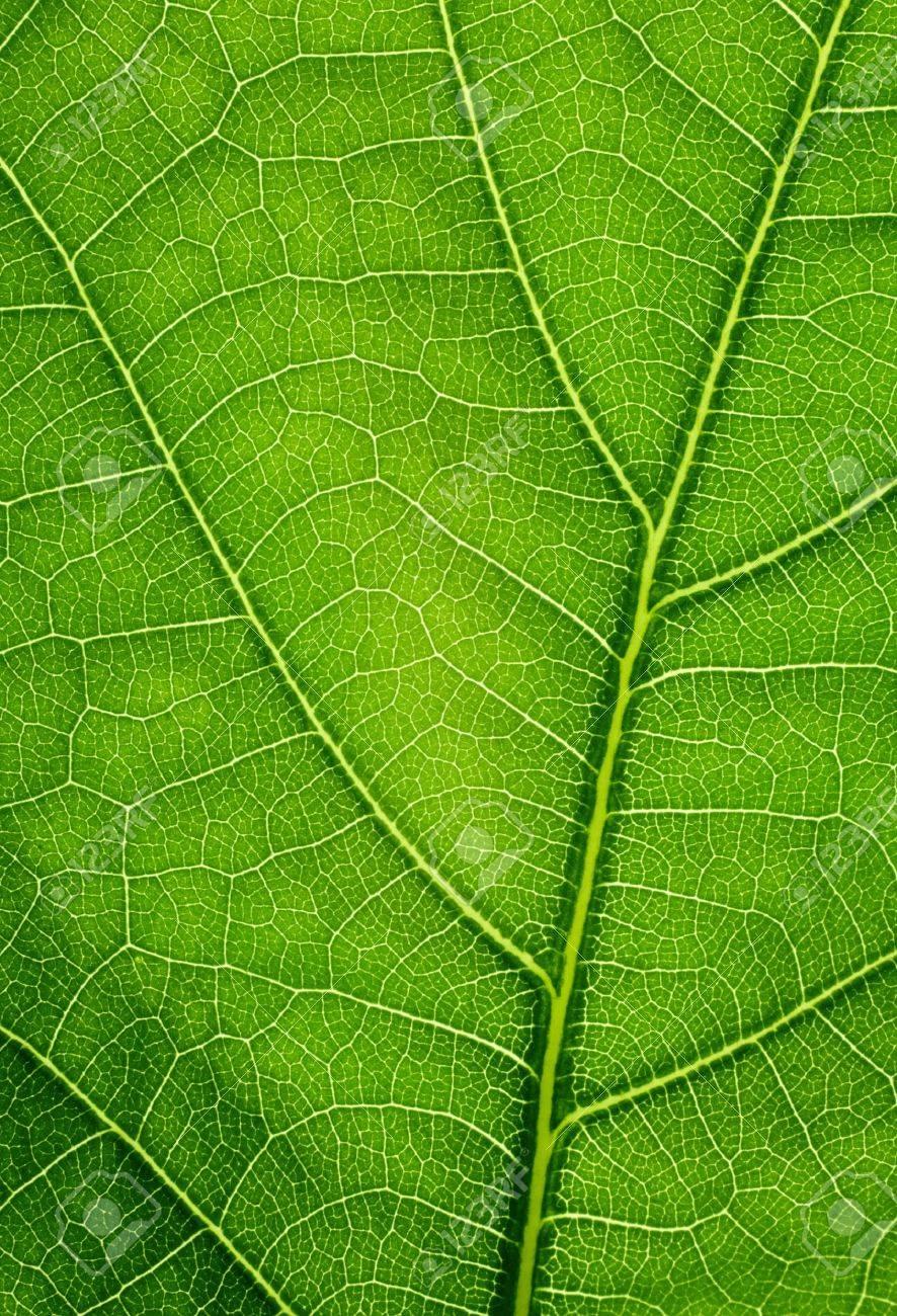 Green background. Oak leaf texture closeup. Stock Photo - 9201433