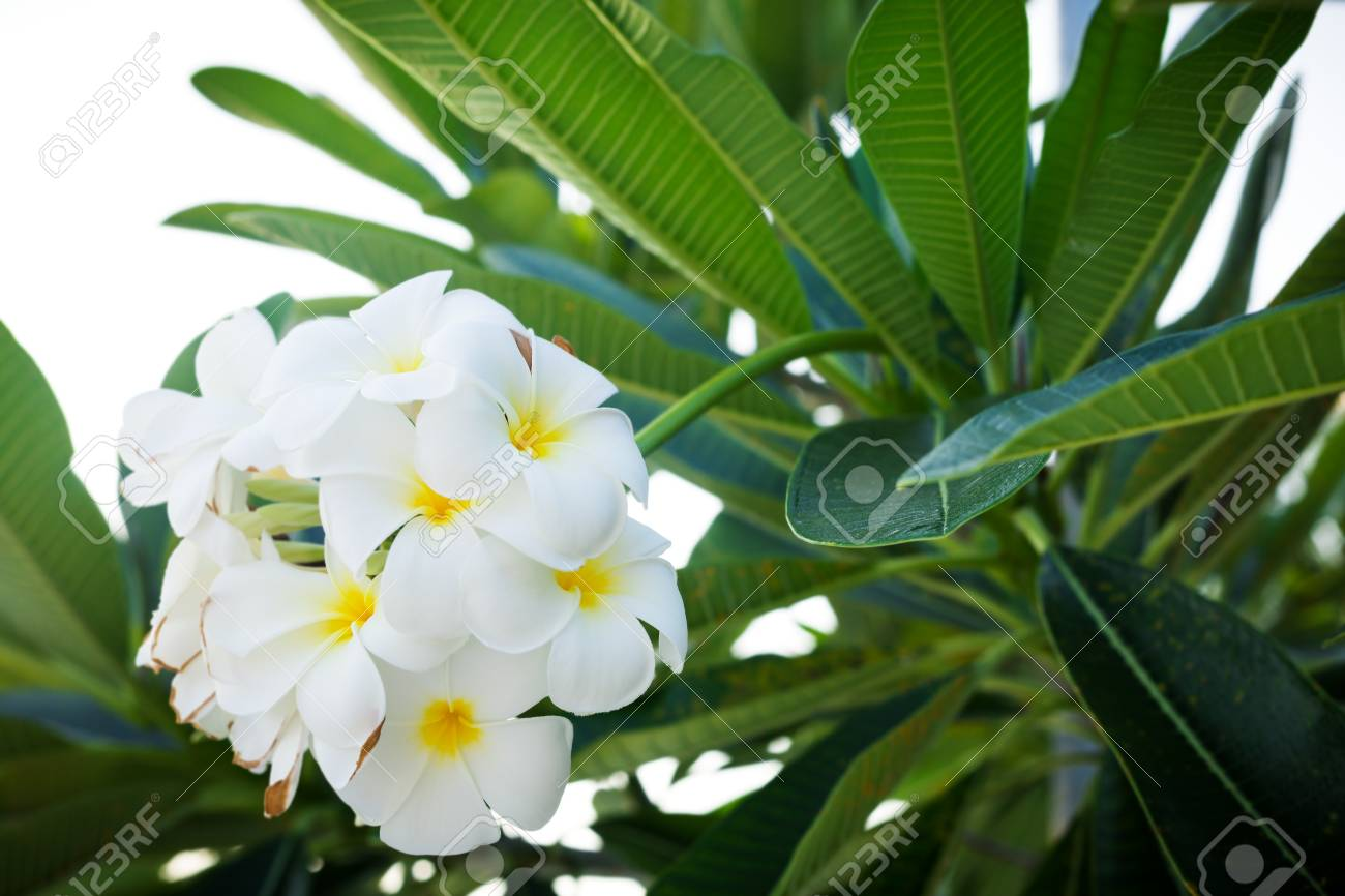 Plumeria frangipani temple tree graveyard tree white tropical plumeria frangipani temple tree graveyard tree white tropical flowers blooming in tropics mightylinksfo