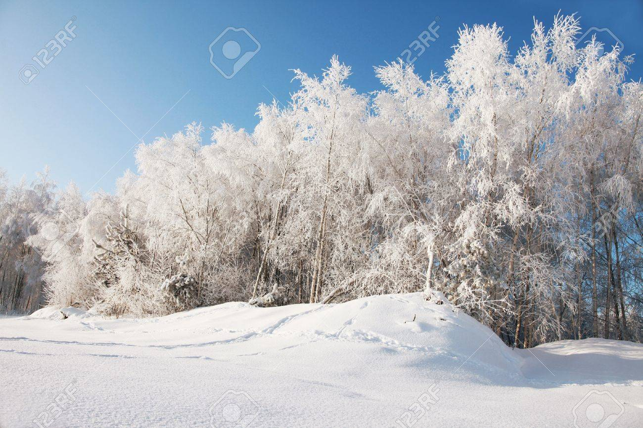8679607-birch-grove-under-snow-on-sunny-