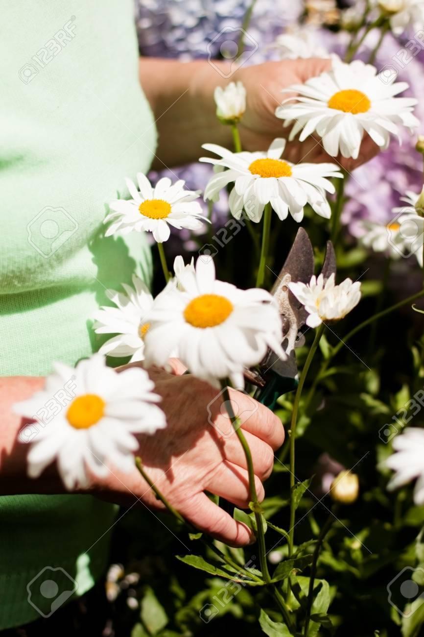 senior woman cut daisies in the garden Stock Photo - 14407517