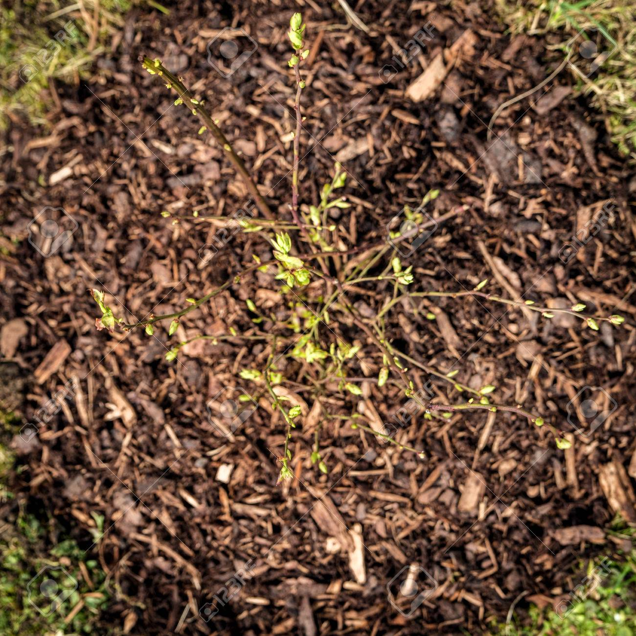 Topview, Brown Bark Mulch Around A Little Blueberry Bush In The ...