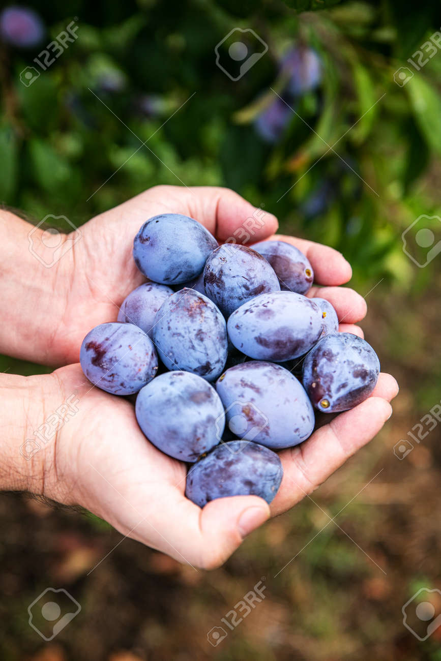 a man is holding a lot of fresh harvested plums in his hands - 168974728