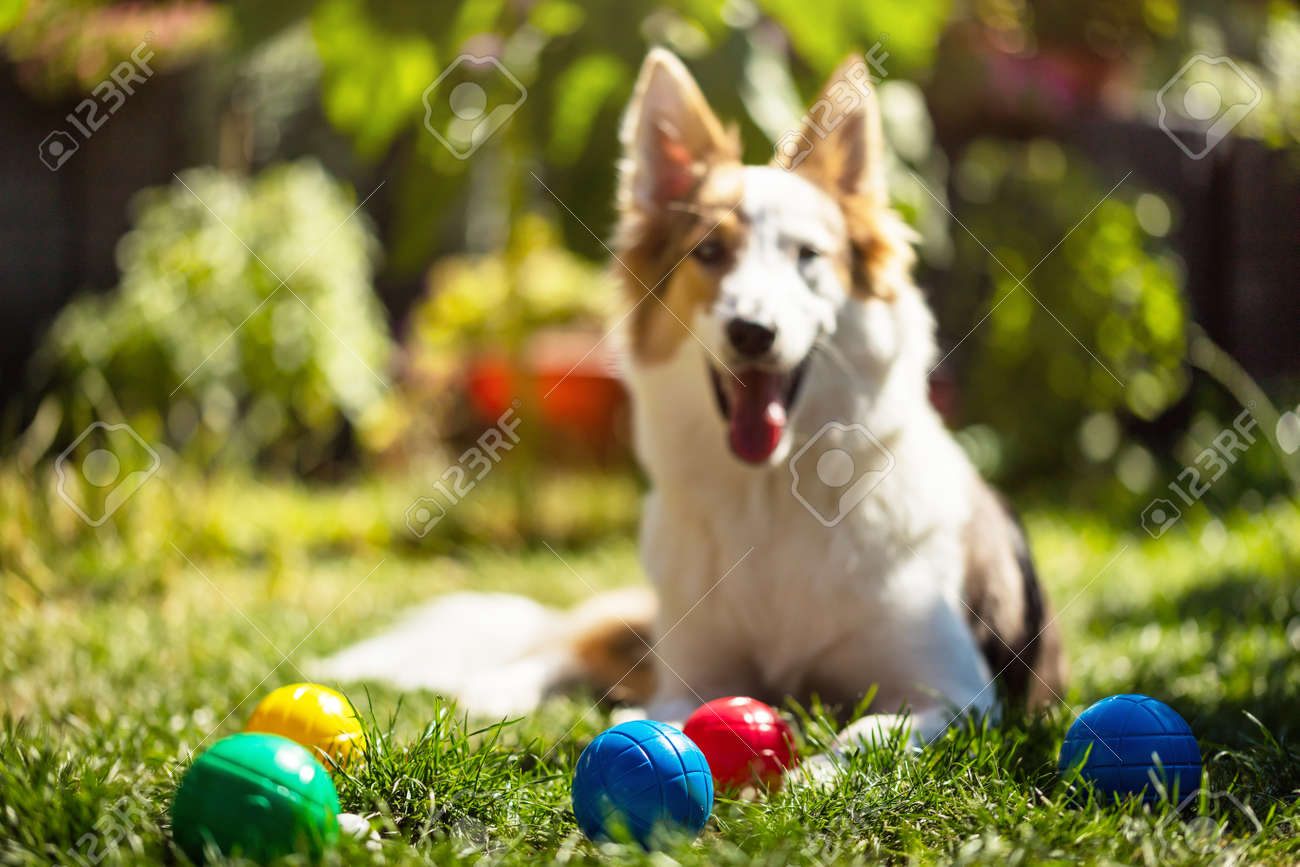 a lot of colorful plastic boules or boccia balls are lying on a green meadow, cute puppy is looking to the viewer - 170381926