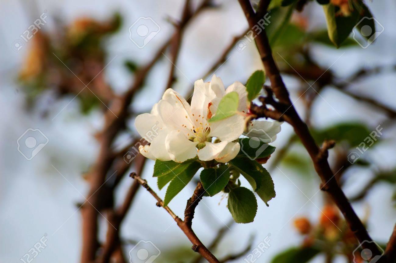 Kirschblüte Standard-Bild - 42096968