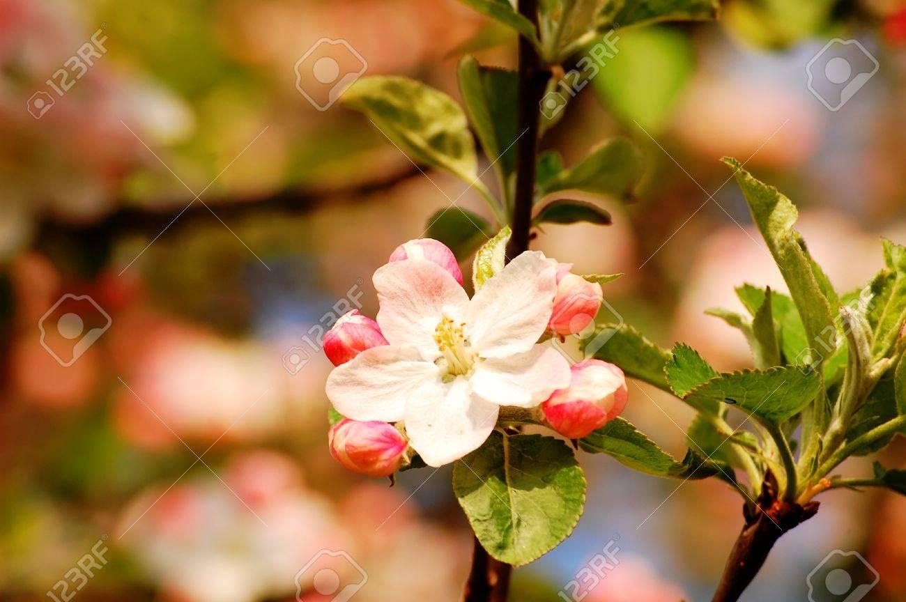 appleblossom Standard-Bild - 42096970