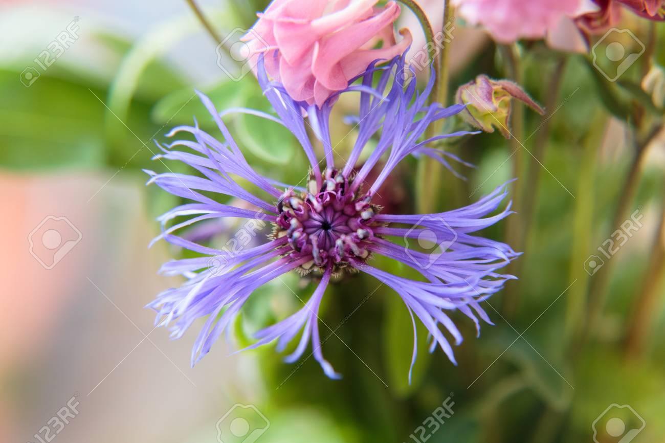 Blüte einer Kornblume Standard-Bild - 41958910