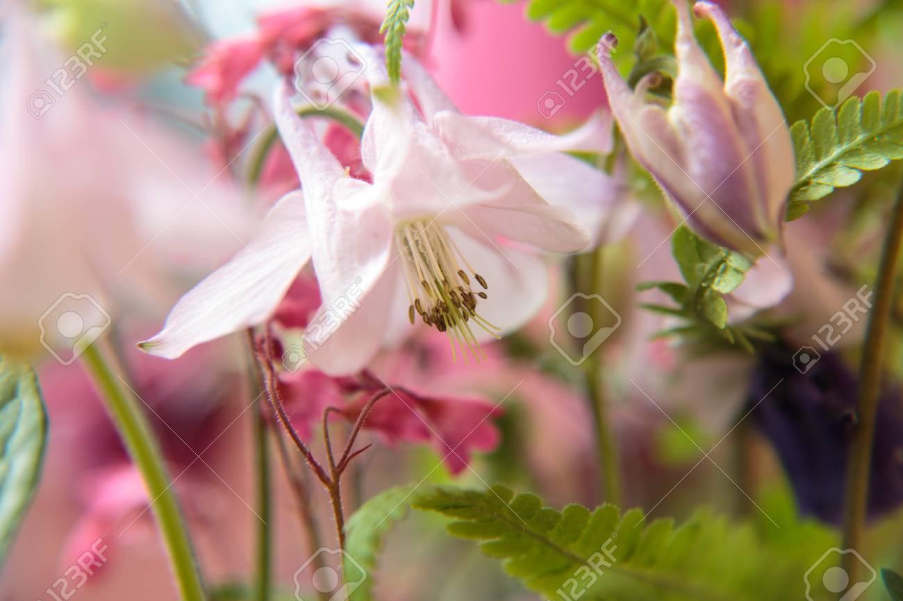 Blossom of a Aquilegia Standard-Bild - 41958911