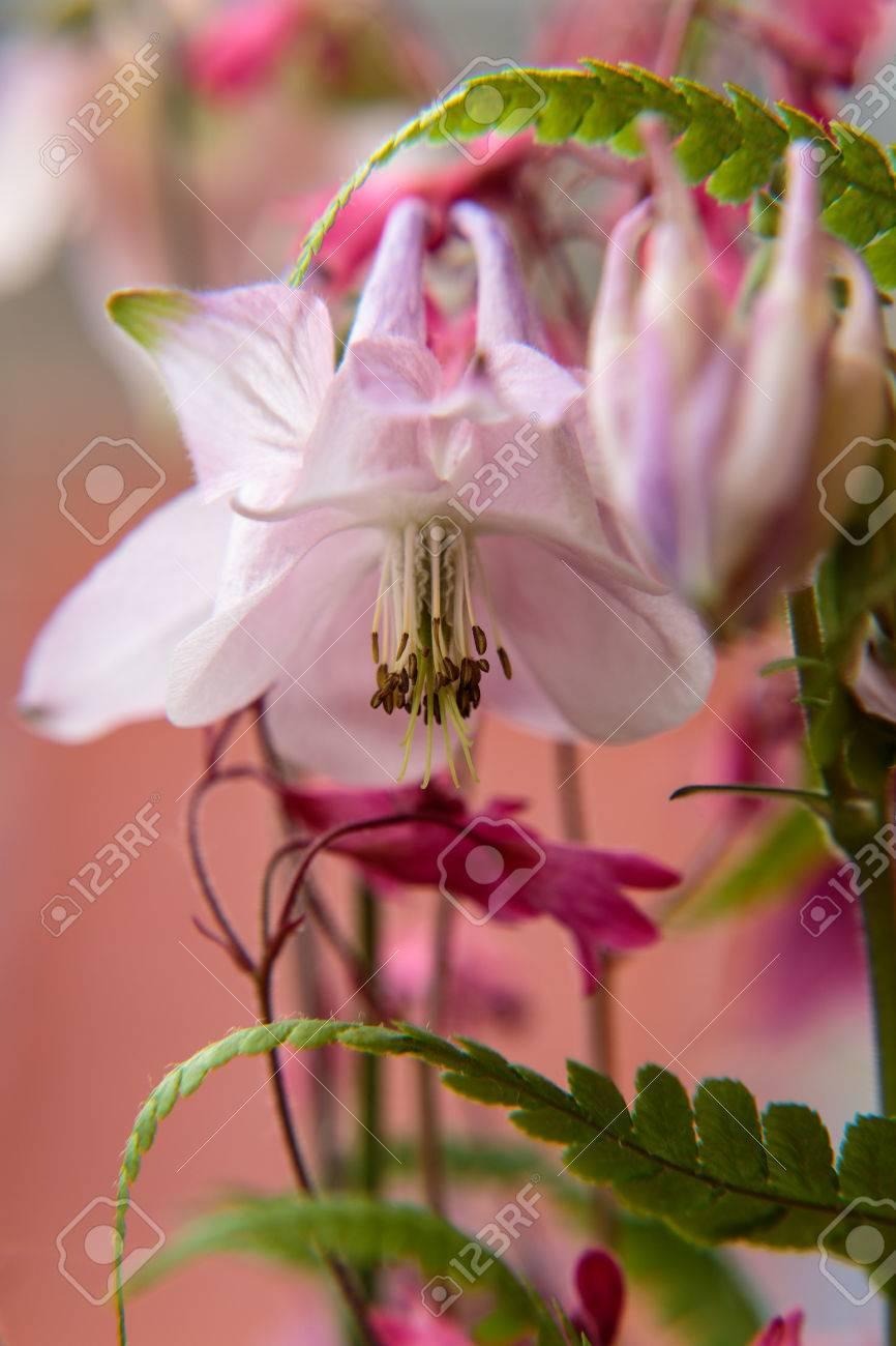 Blossom of a Aquilegia Standard-Bild - 41958914