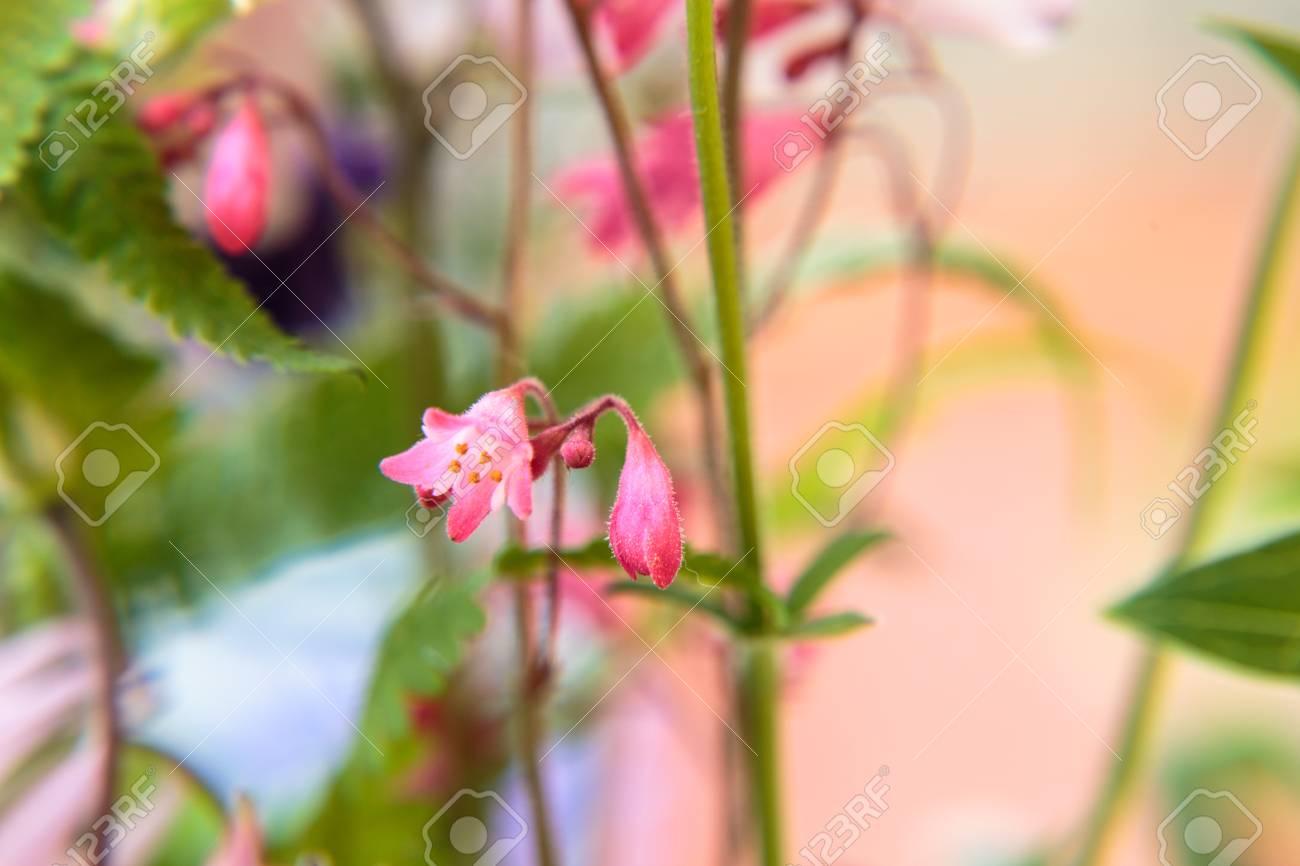 Blossom of a Aquilegia Standard-Bild - 41958913