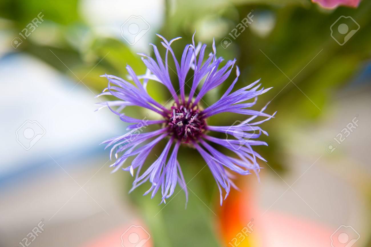 Blüte einer Kornblume Standard-Bild - 41958919