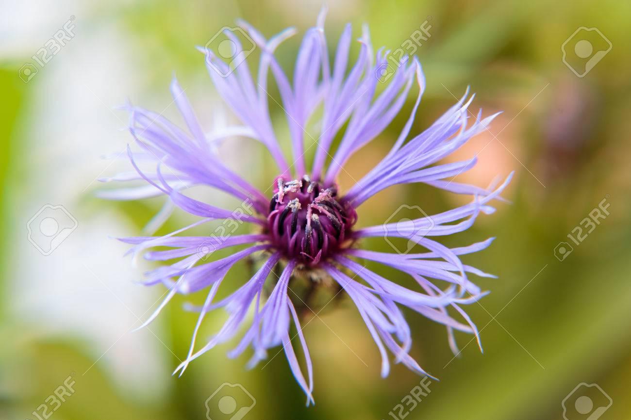 Blüte einer Kornblume Standard-Bild - 41958917
