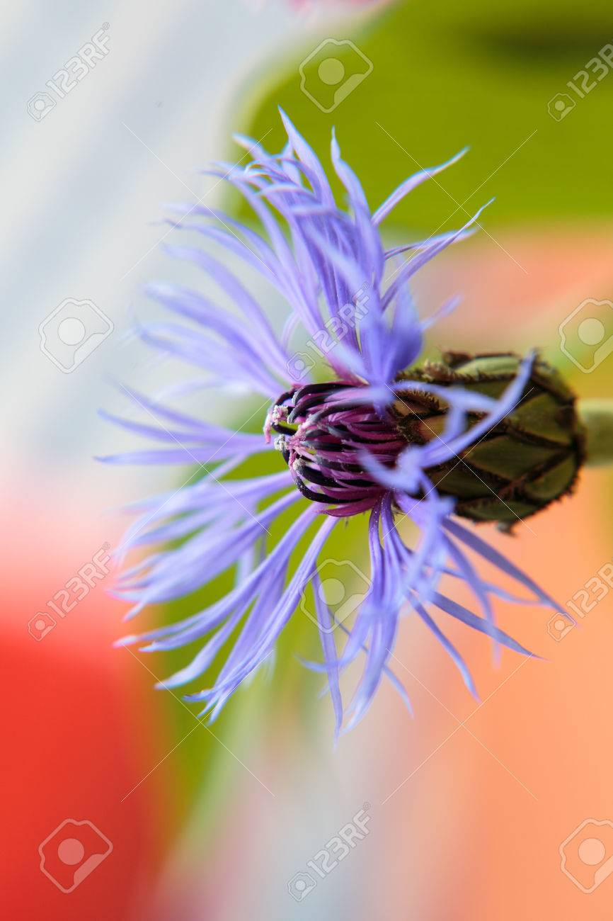 Blüte einer Kornblume Standard-Bild - 41958920