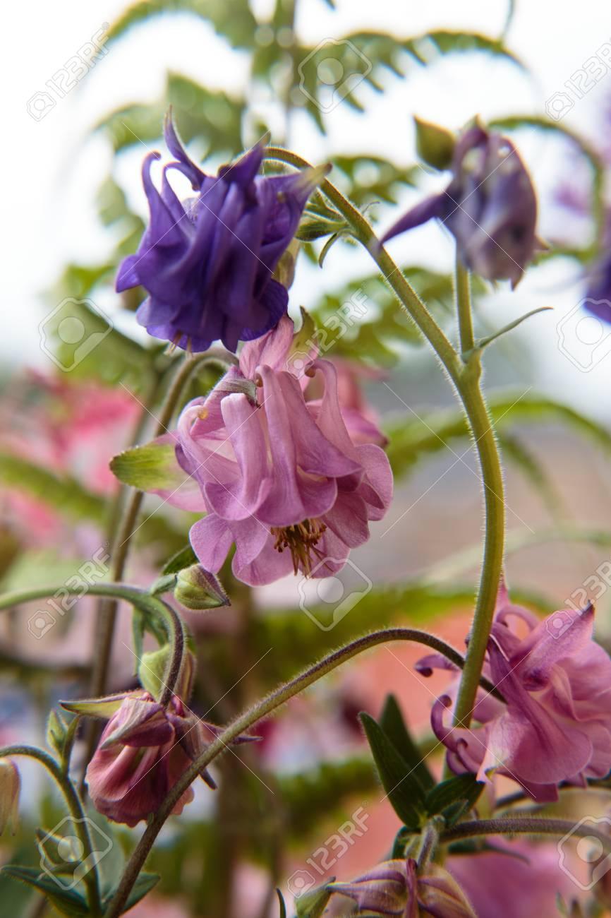 Blüte einer Aquilegia Standard-Bild - 41958922