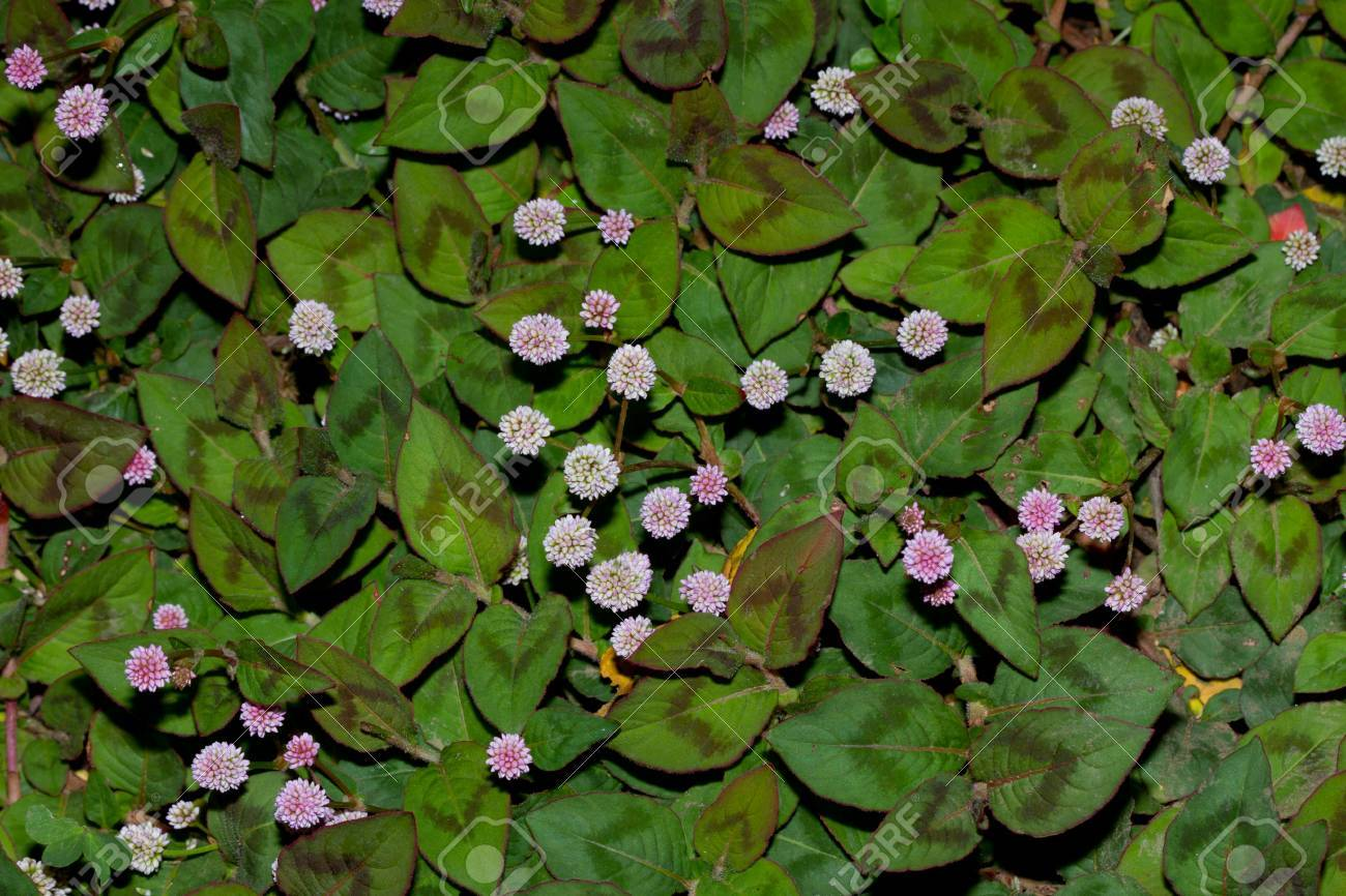 Ground Cover Plant Leafy With Small Pink Flower In South African