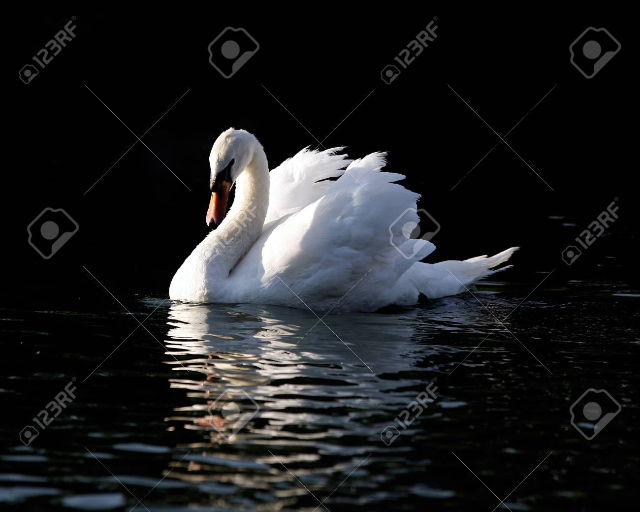 Swimming Swan Stock Photo - 484477