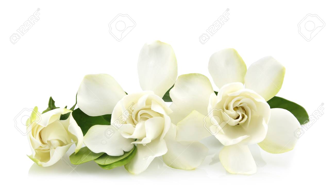 gardenia flowers isolated on white background.