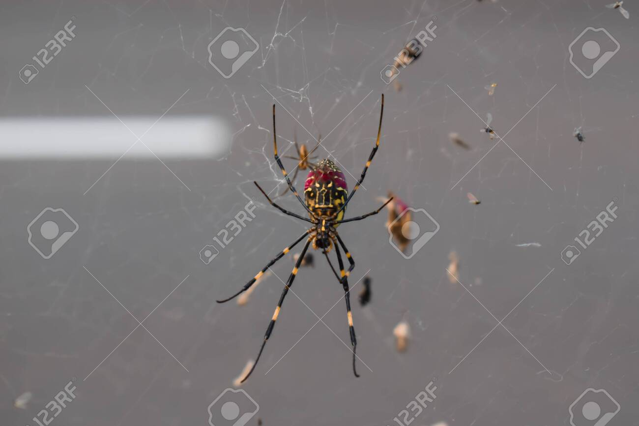 Long Legs Spider on a Net Over a Road in Ushiku Japan - 147551997
