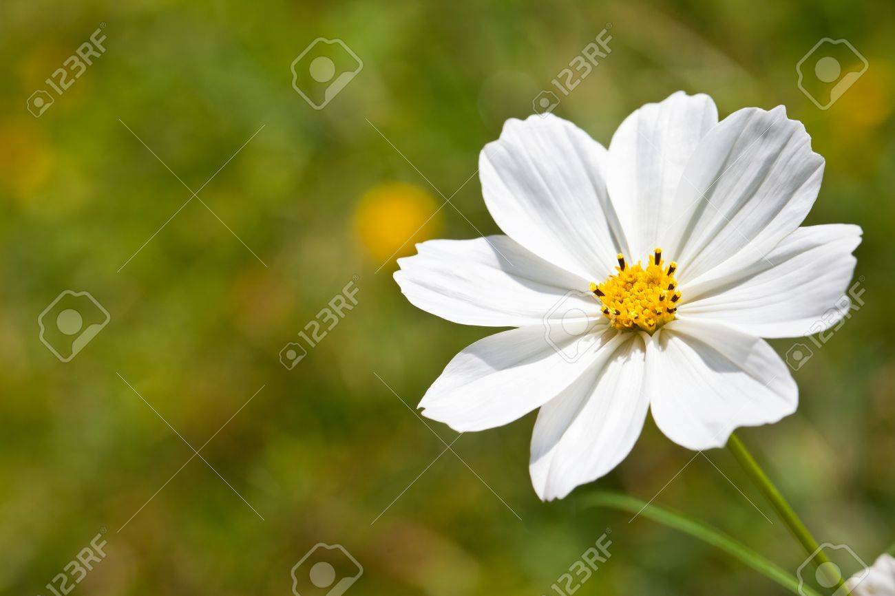 Closeup White Cosmos Flower Stock Photo Picture And Royalty Free