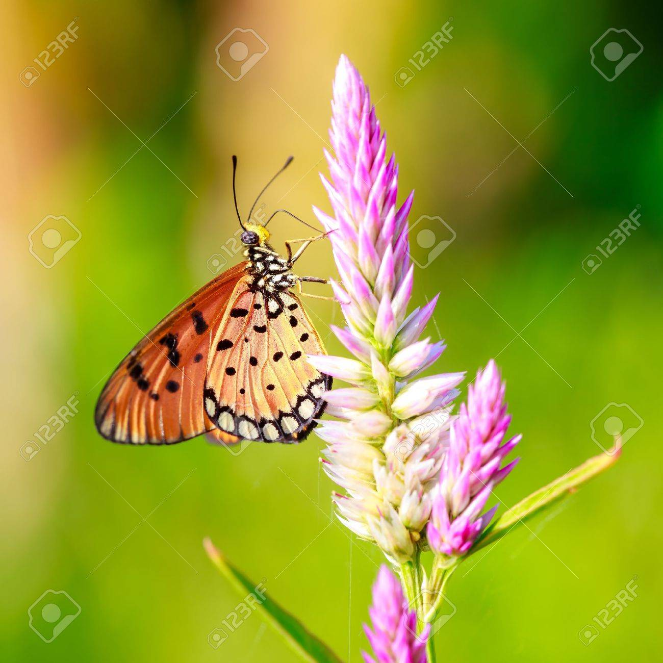 Closeup butterfly on flower Stock Photo - 21783730