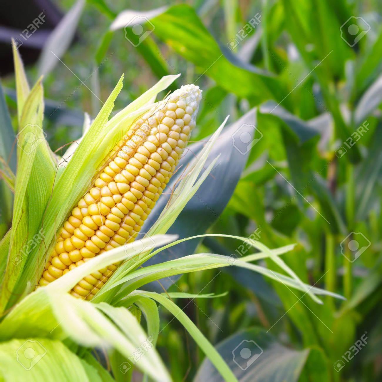 Closeup corn on the stalk in the corn field - 21783736
