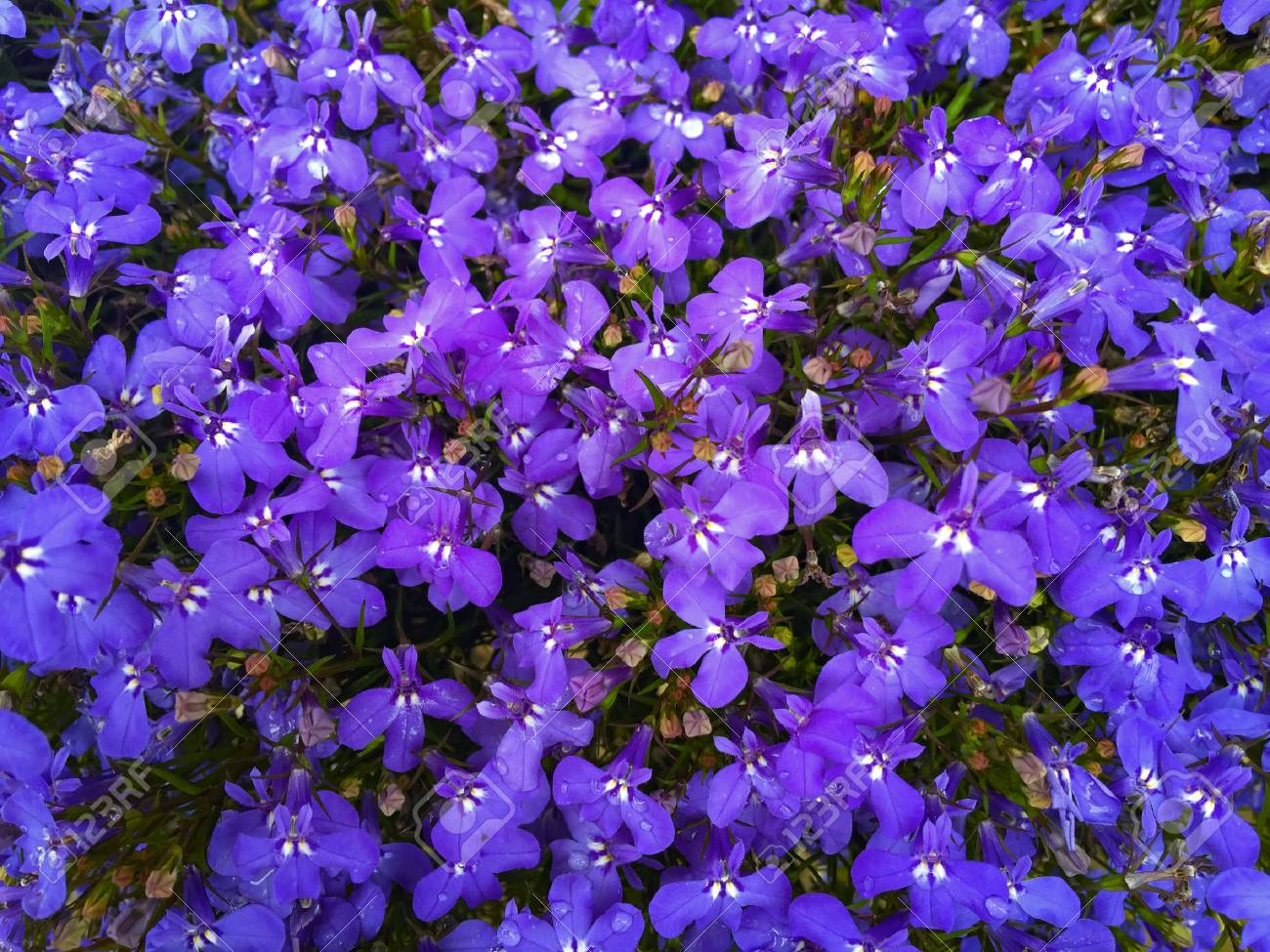 Purple And Blue Lobelia Flowers In The Garden Stock Photo Picture
