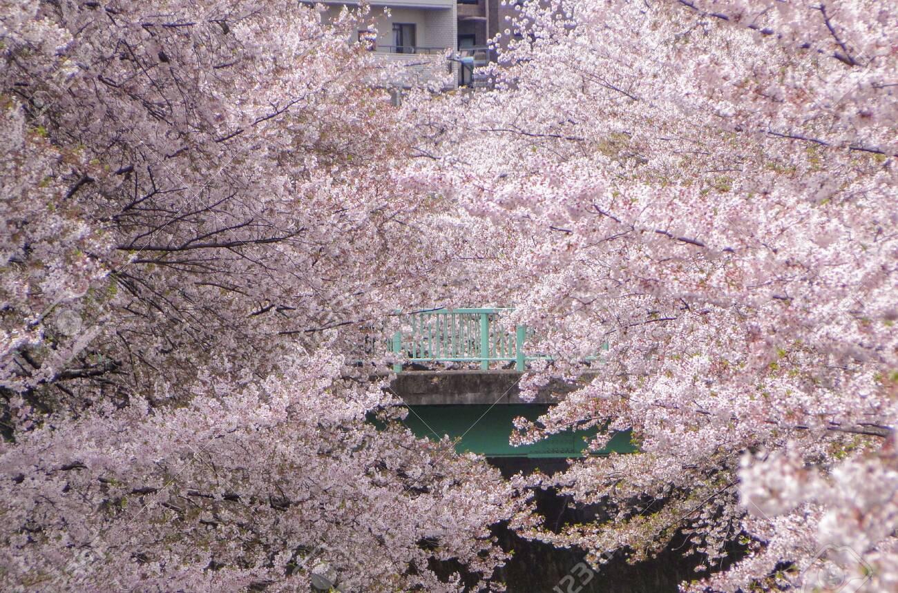 Full Blooming Japanese Pink Cherry Blossoms Sakura Trees Along