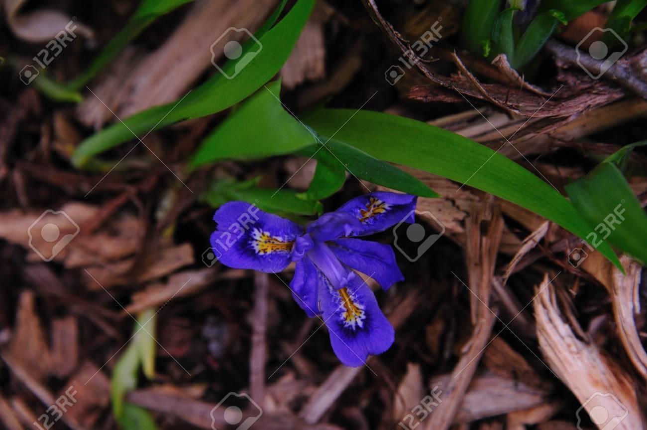 Wildflower - Blue Flag Iris - Iris Versicolor - Door County, Wisconsin Stock Photo - 14087231