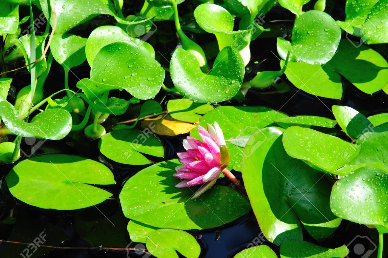 Flower   Pink Water Lily In Wisconsin Garden Stock Photo   14851396