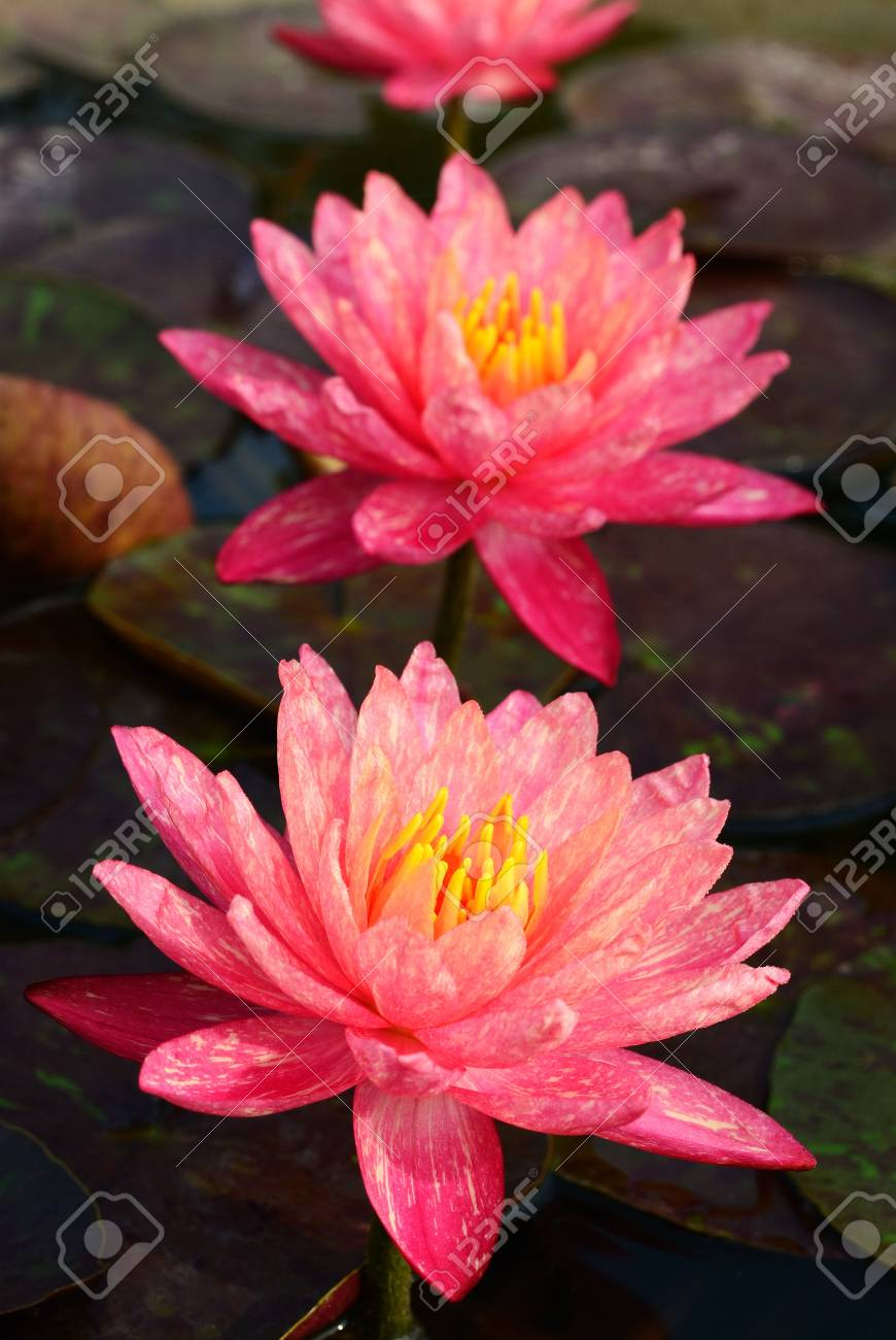 Doubble Wanwisa lotus of Thailand in the pool Stock Photo - 18464805