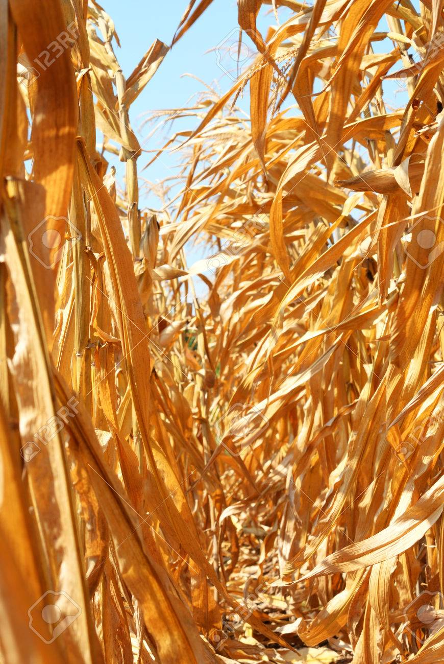 Dry corn field inside before harvesting Stock Photo - 24400866