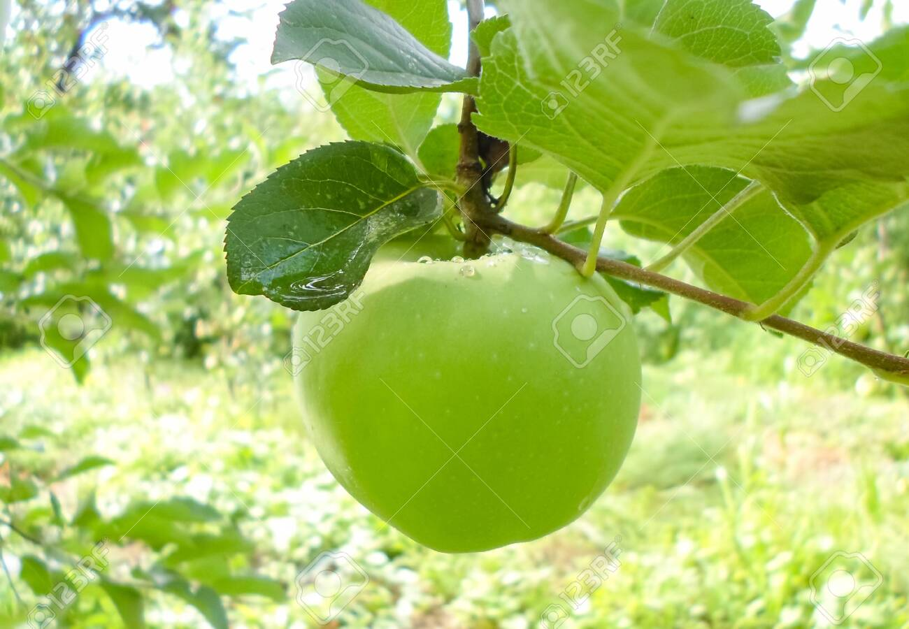 green juicy apples on tree branches after rain. apples with water droplets on a branch - 148577130