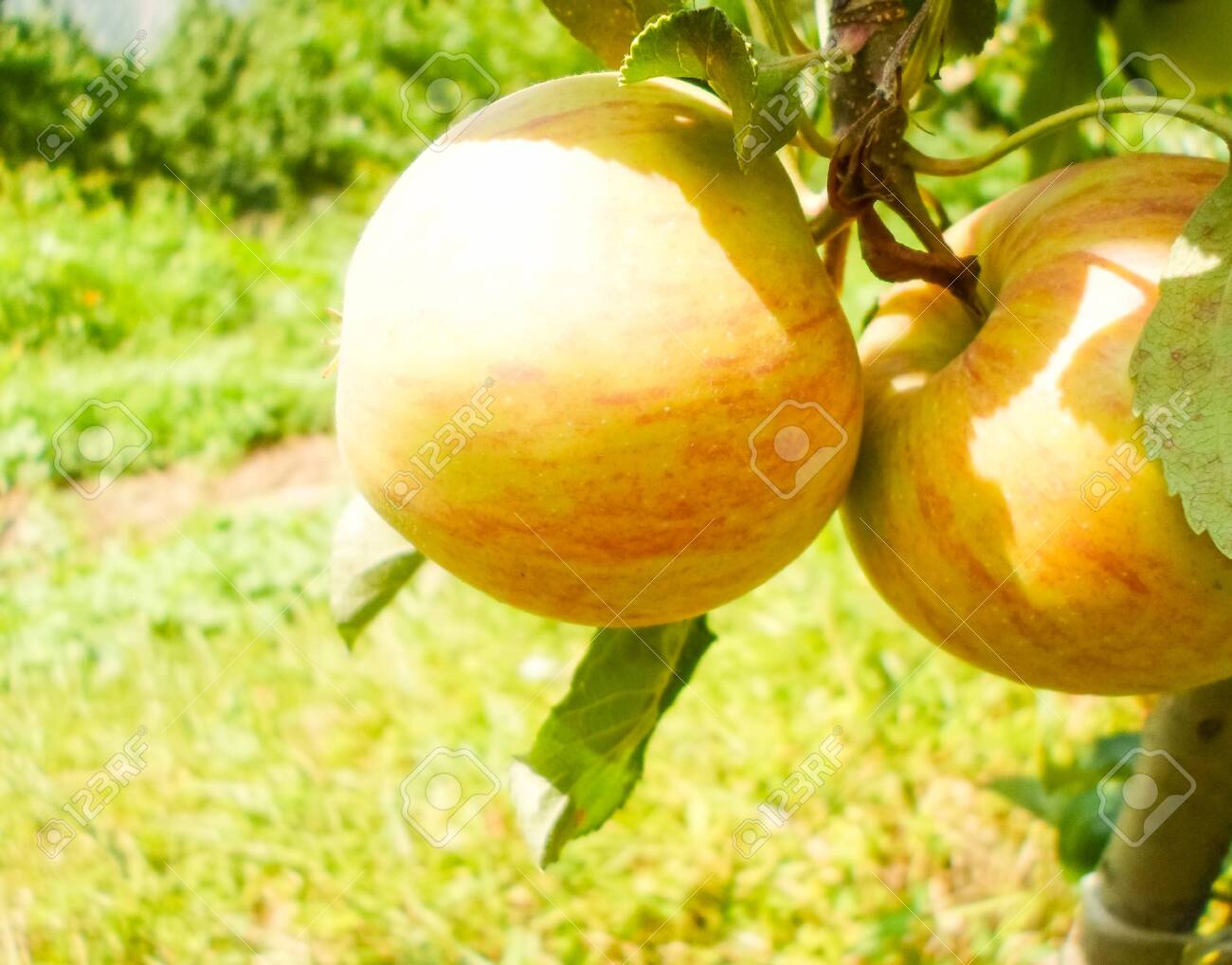 Large green and red apples on apple tree branches in the garden on a summer day - 148012999