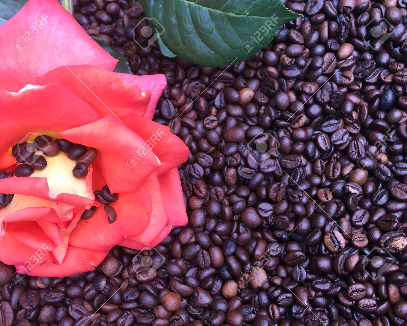 a bunch of coffee beans and a red rose are lying on the table. Coffee texture and background image. - 148013014